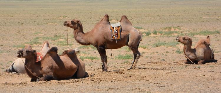 chameaux desert de gobi