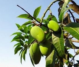 festival de la mangue