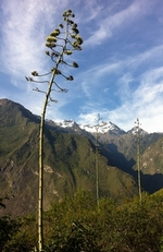 agave d'amérique