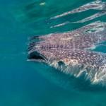 Oslob requin baleine