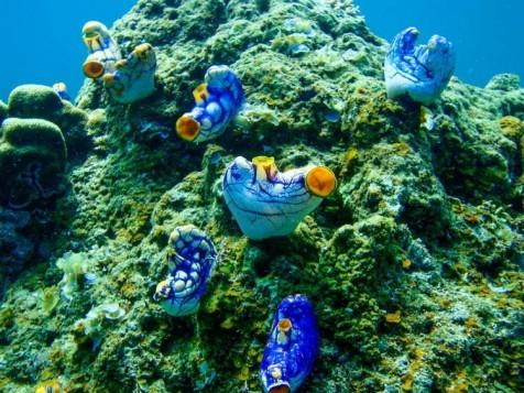 corail bleu étrange