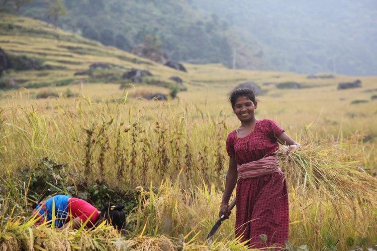recolte riz nepal