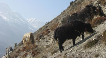 yaks au Népal
